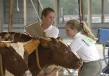 4-Her showing steers at Skowhegan State Fair; photo by Edwin Remsberg