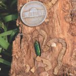 Emerald Ash Borer and tree damage