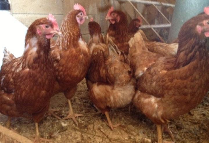 Chickens (Golden Comets)