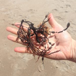 an outstretched hand holding some seaweed to be identified