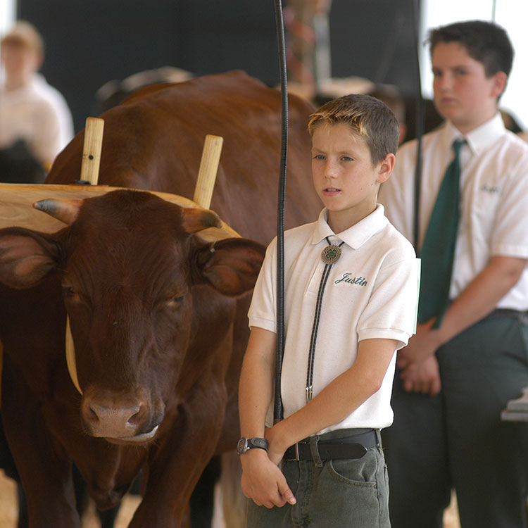 4-Her showing a working steer at the fair