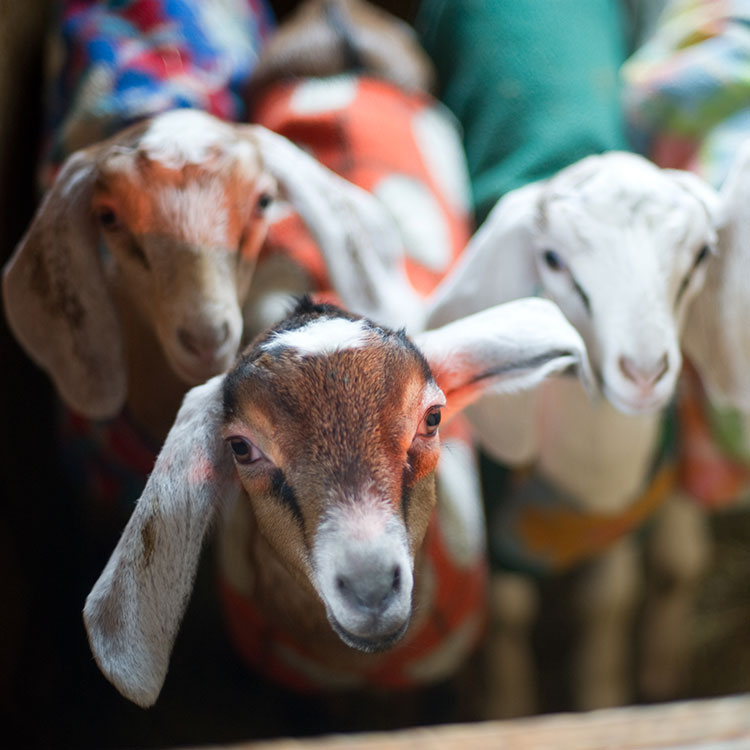 Baby goats in coats