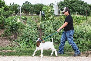 middle school boy walking in a garden with a goat on a leash