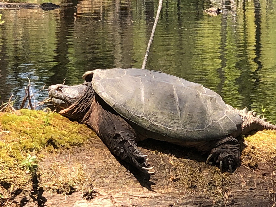 Large snapping turtle next to a pond.