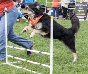Dog jumping over a bar