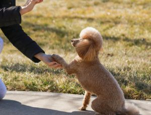 Small dog shaking a person's hand.