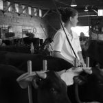 4-H'er with cows at fair