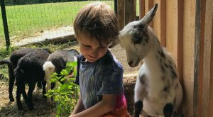 4-H'er and baby goats