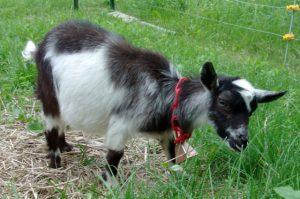 4-month-old dwarf goat