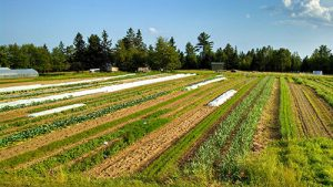 vegetable fields at King Hill Farm