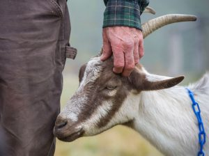 farmer scratches goat's ears