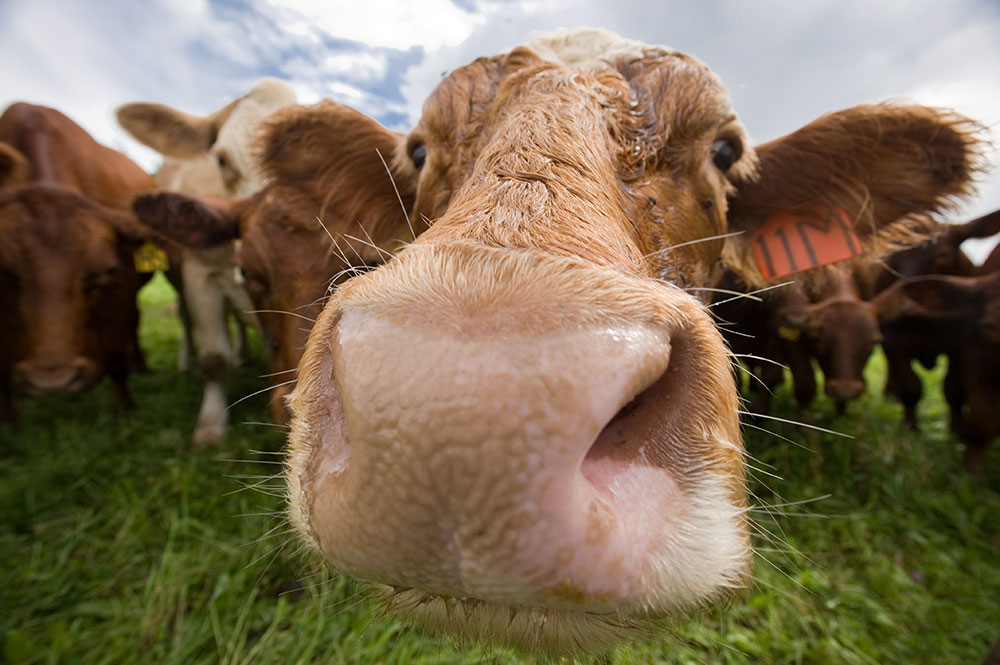 close-up of a cow's nose