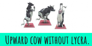 Cartoon of cows on yoga mats