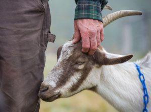 farmer scratching goat's ears
