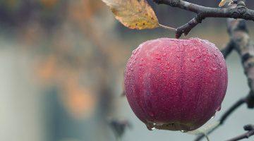 ripe apple on the tree