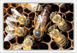 A queen bee with some of her attending workers.