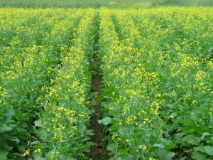 field of blossoming canola