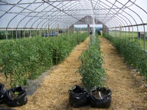 Tomatoes growing in a High Tunnel