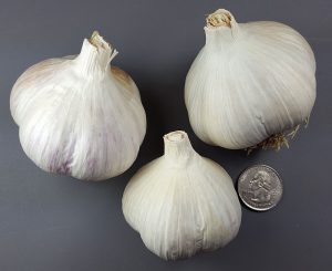 German Extra Hardy garlic bulbs