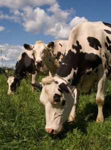 dairy cows; photo by Edwin Remsberg