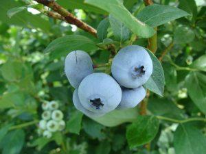 Blueberries on bush