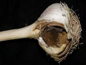 garlic bulb infected by Black Mold