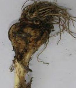 Garlic bulb damaged by mites