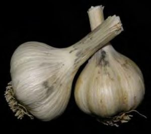 garlic infected by Skin Blotch