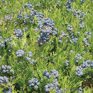 Ripe Maine wild blueberries in the field