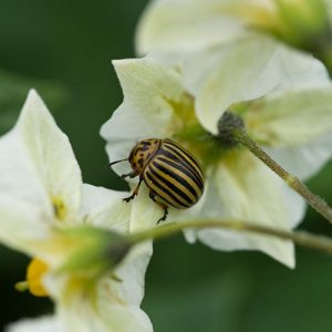 Colorado potato beetle on potato blossom