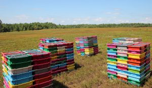Blueberry Crates at Sunkhaze Wild Blueberry Farm