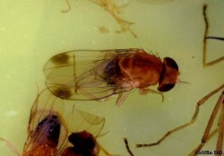 Male Spotted Wing Drosophila, photo by Griffin Dill. Actual size: 2-3 mm.