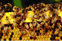 honey bee worker and a queen (larger bee)