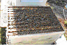 """When the hive is opened, bees should immediately appear to """"boil over"""" and cover the tops of the frames."""