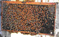 60% covered with brood in all stages and 25% in the egg or younger uncapped brood stage.
