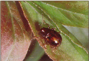 Rootworm adult