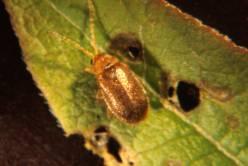 Adult leaf beetle