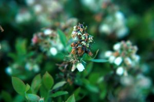 The fungus Botrytis causes a bloom blight but may also infect leaves and stems.