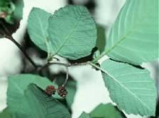 Alder leaf and stem