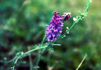 Cow or Tufted Vetch Cow or Tufted Vetch in field.