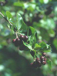 Chokepear Fruit