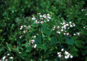 Dogbane flowers.