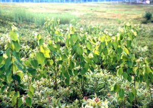 Dogbane plant.