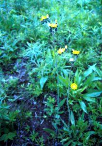 Hawkweed Plant.