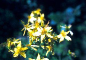St. Johnswort flowers.