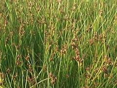 Wire-grass, Slender rush