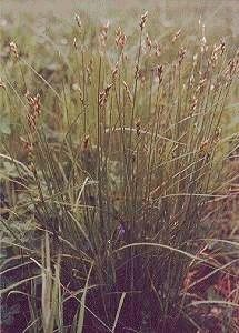 Pointed-Broom Sedge