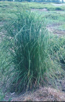 Three-Square Sedge