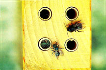 Wooden bee nesting block with Osmia spp. and completed nest capped with a masticated (thoroughly chewed) leaf plug.