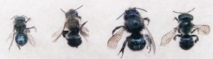 Four species of Osmia bees that pollinate blueberry. From left to right: Osmia atriventris (Maine blueberry bee), O. inermis, O. lignaria, and O. inspergens.